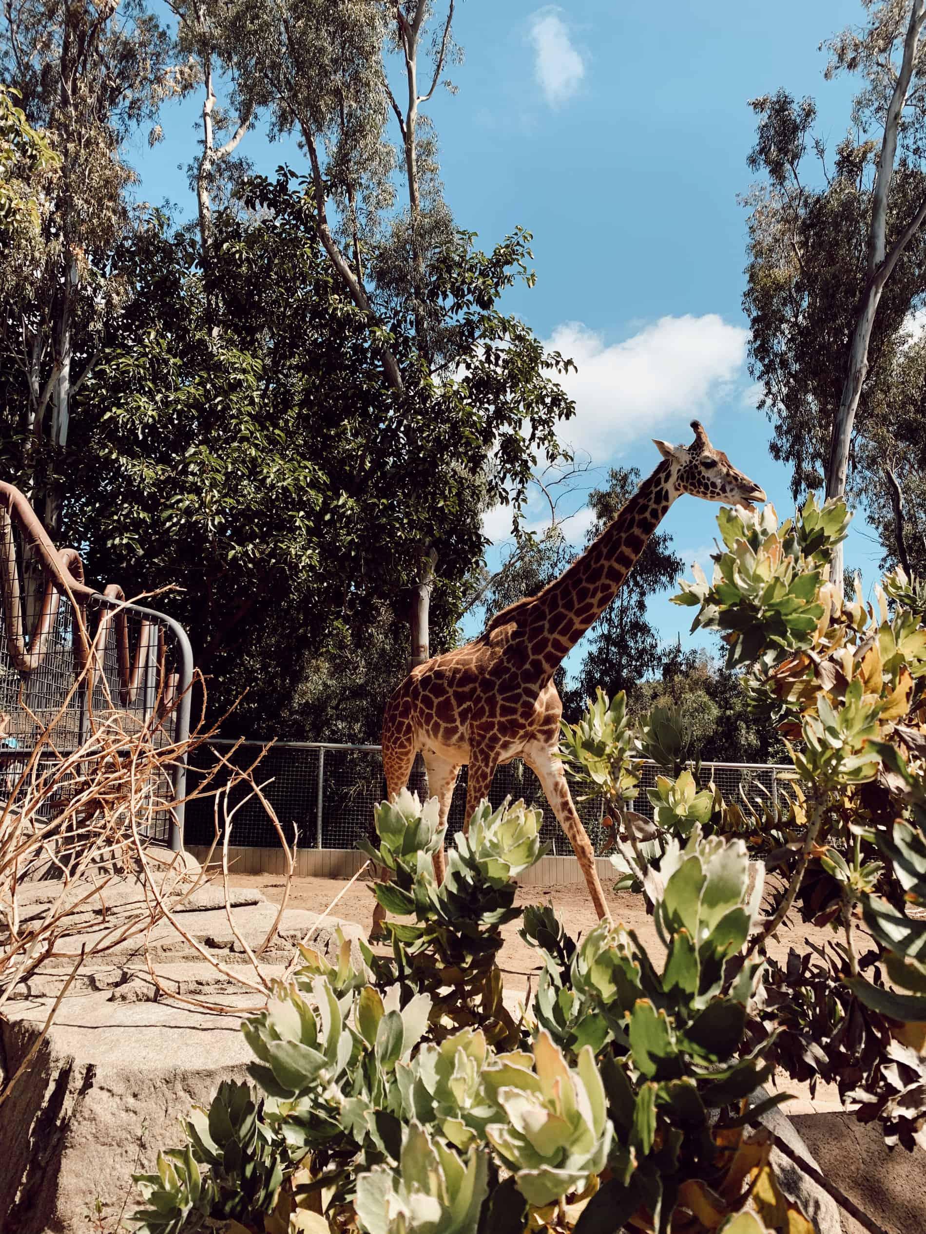 giraffes at the san diego zoo